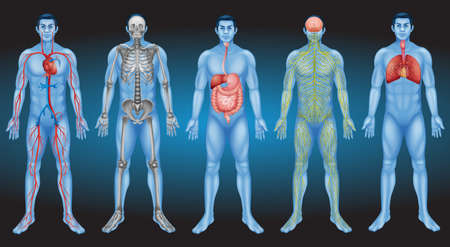 Internal organs of the human body