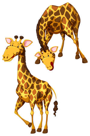jirafa fondo blanco: Jirafas en pie y pose flexi�n