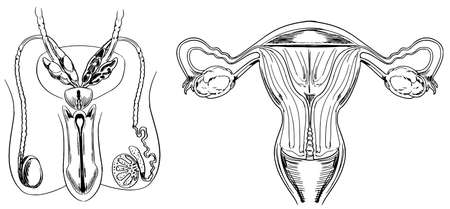 fallopian: Male and female reproduction system