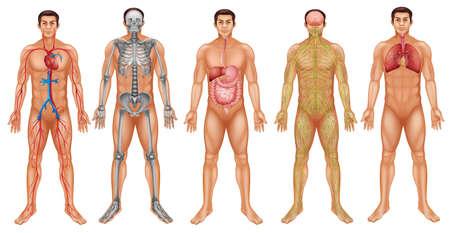 人間の体のシステムのグラフ