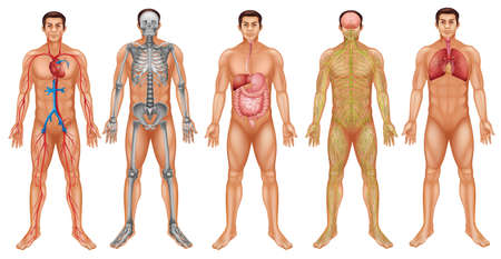Grafiek van het menselijk lichaam systeem Stockfoto - 39163466