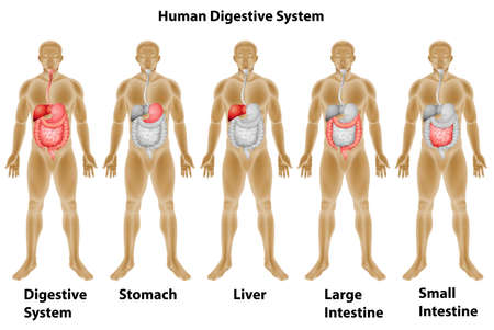 digestive: Description of human digestive system