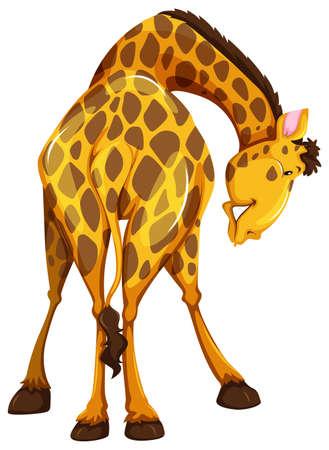 bending: Back view of a bending giraffe