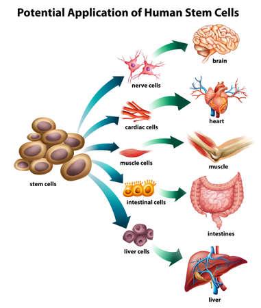 Objaśnienie stosowania komórek macierzystych Ilustracje wektorowe