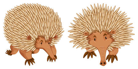 nose close up: Two echidna on white background Illustration