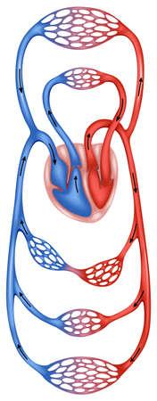 circulation: Blood circulation of a human body Illustration