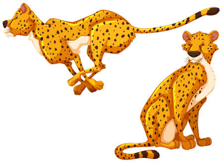 carnivores: Two cheetah on white background