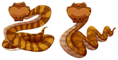wild living: Two brown snakes on white background