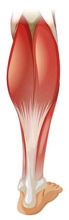 Muscle de la jambe inférieure sur fond blanc