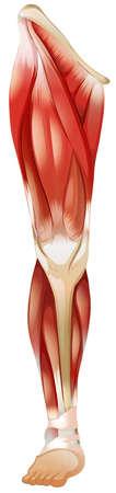 下肢筋群のポスター  イラスト・ベクター素材