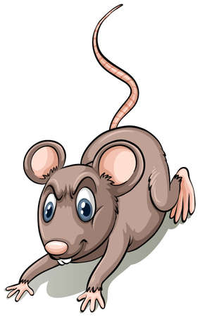 on white background: Brown rat on white background