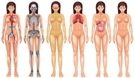 cuerpos desnudos: Cartel del sistema boby interna femenina Vectores