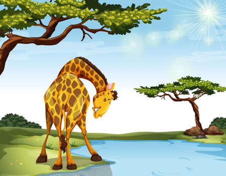 jirafa: Jirafa de pie en la orilla del río