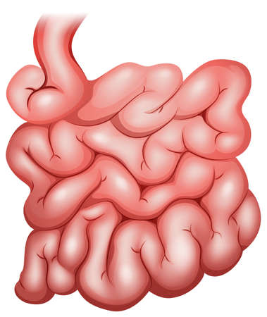 woman close up: Illustration of a small intestine