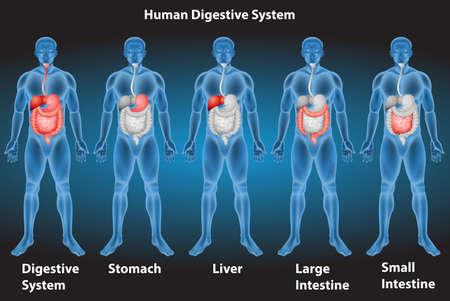 intestino grueso: Radiografías del sistema digestivo humano Vectores