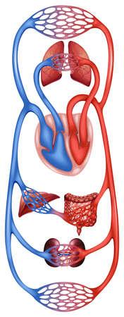 intestino grueso: Cartel de sistema de circulación del cuerpo humano