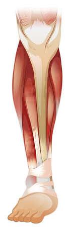 leg muscle: Muscular dentro del primer de la pierna Vectores
