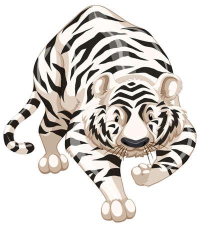 endangered: Close up white tiger walking alone