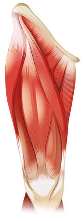 muscle anatomy: Upper leg muscle on white background Illustration
