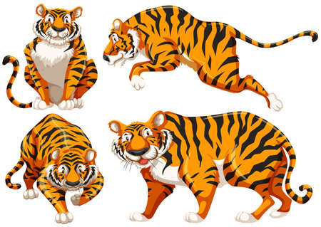 carnivores: Four different positions of single tiger