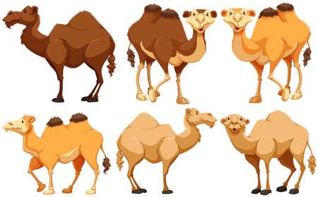 animales del desierto: Diferentes tipos de camellos de pie