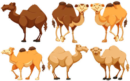 Different type of camels standing