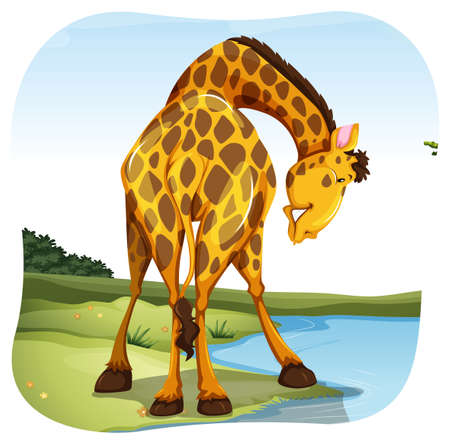 bending: Giraffe bending his neck to reach water in the river