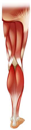 leg muscle: Pierna muscular en los detalles finos Vectores