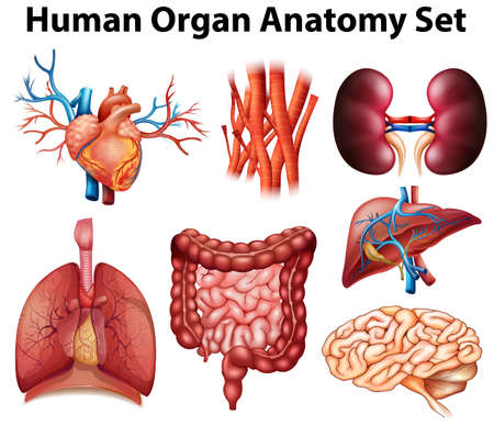 Poster of human organ anatomy set Illustration