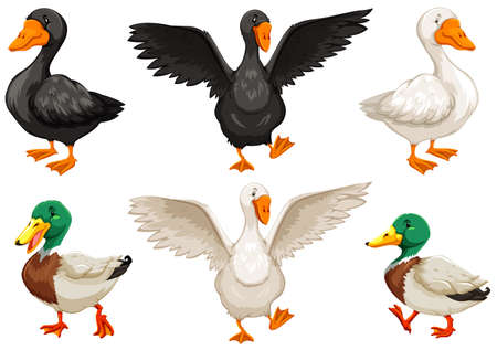 poultry animals: Cute ducks in different position Illustration