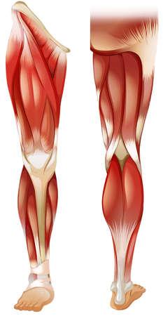 Plakat z przodu iz tyłu mięśni nóg