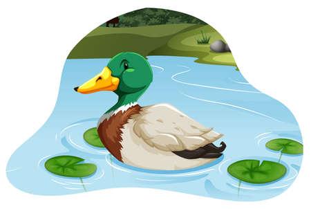 pato caricatura: Natación hermosa del pato silvestre en un estanque Vectores