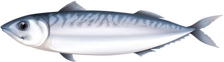isolated ingredient: Close up whole mackeral from head to tail Illustration