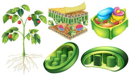 planta con raiz: Cartel que ilustra la anatom�a c�lula vegetal