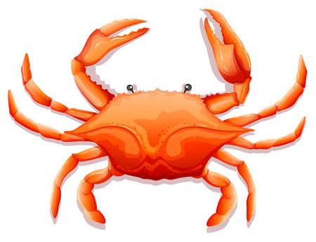 Zamknąć świeżego kraba z ostrymi pazurami Ilustracje wektorowe