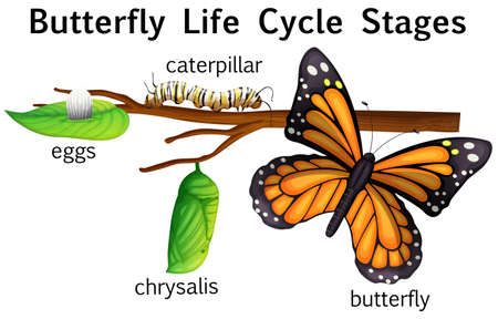 insect on leaf: Butterfly life cycle stages illustration Illustration