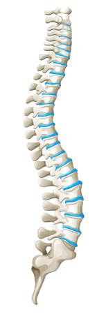 Spine diagram showing back pain illustration Illustration