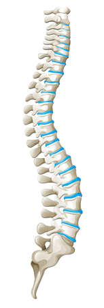 Spine diagram showing back pain illustration Illustration