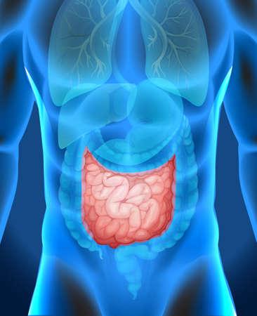 small intestine: Intestino delgado en la ilustraci�n cuerpo humano
