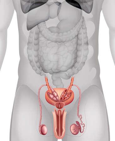 genitali: Genitali maschili schema in dettaglio illustrazione Vettoriali