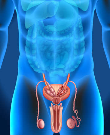 human anatomy: Male genitals system in human illustration Illustration