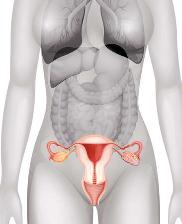 woman close up: Female genitals in human body illustration
