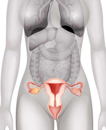 corpo umano: Genitali femminili in illustrazione corpo umano