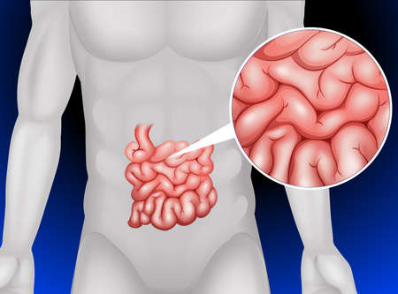 Small intestine in detail illustration Illustration