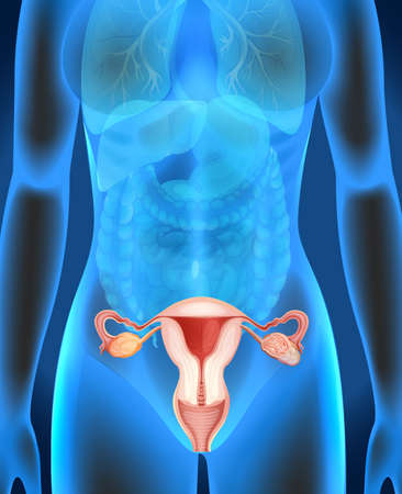 ovarian cancer: Female genitals diagram in human illustration