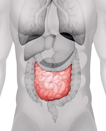 small intestine: Small intestine diagram in human illustration