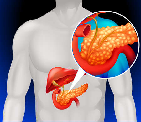 zoom out: Zoom out human pancreas illustration