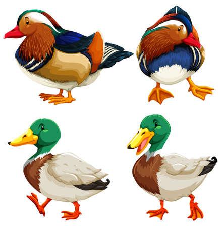 agachado: Diferentes tipos de patos ilustración