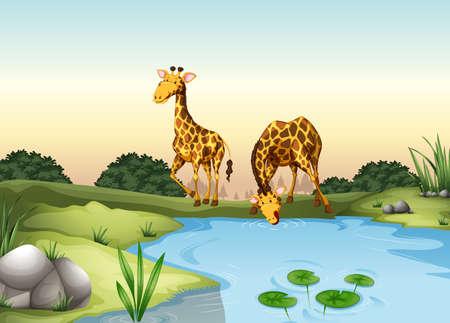 endangered: Giraffe drinking water at the pond illustration Illustration