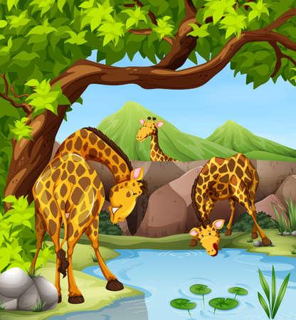 pond water: Giraffe drinking water from the pond illustration Illustration